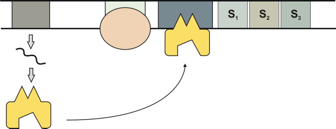 regulation of transcription by steroid hormones